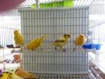 Canarios surtidos