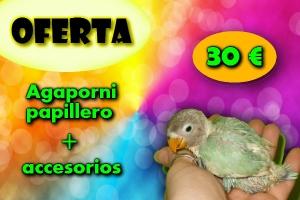 Pack Agaporni papillero